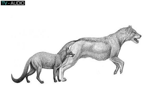 Khí hậu thay đổi khiến cho chó nhà tiến hóa thành chó sói của ngày nay.